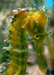 Very shy sea horse posing for the lens but would not make... by Niall Deiraniya 